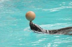 Addomesticated sjölejon Fotografering för Bildbyråer