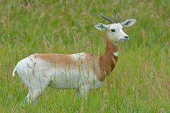 Addra-Gazelle Stockbilder