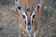 Addra Gazelle Royalty Free Stock Image