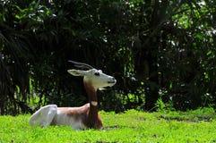 Addra Gazelle-Stillstehen Stockfotos