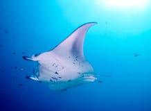 addu ωκεάνια ακτίνα manta των Μαλβίδων ατολλών ινδική στοκ φωτογραφίες με δικαίωμα ελεύθερης χρήσης