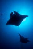 addu ωκεάνια ακτίνα manta των Μαλβίδων ατολλών ινδική Στοκ Φωτογραφία