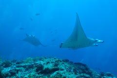 addu ωκεάνια ακτίνα manta των Μαλβίδων ατολλών ινδική Στοκ Φωτογραφίες