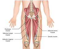 Adductor muscles anatomy 3d medical  illustration on white background. Eps 10 vector illustration