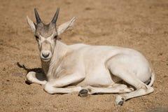 Addux calf Royalty Free Stock Image