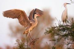 Adea cinerea, Heron Stock Photos