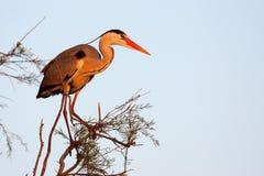Adea cinerea, Heron Royalty Free Stock Photos
