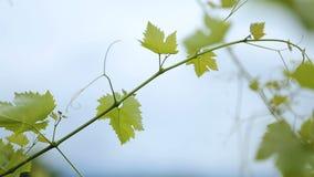 Adega de vinho antiga entre videiras densamente crescentes no vinhedo, negócio de família vídeos de arquivo