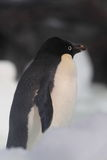 Adeile penguin Royalty Free Stock Photo