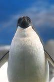Adeile Pinguin Stockfoto