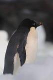 Adeile-Pinguin Lizenzfreies Stockfoto