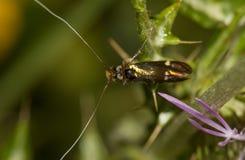 Adela collicolella nocturnal moth Stock Image