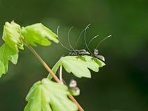 Adela-reaumurella - Sonnenschein der Motten im Frühjahr Lizenzfreie Stockfotografie