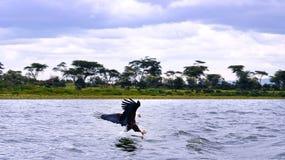 Adelaar in Afrika Stock Afbeelding