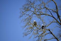 2 adelaars stock afbeeldingen