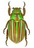 Adelaida de Chrysina del escarabajo del escarabajo de la joya de México Foto de archivo libre de regalías
