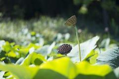 Adelaide Botanic Garden - Lotus Pond Lizenzfreies Stockfoto