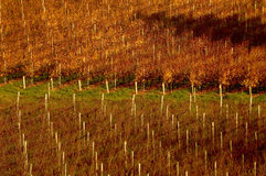Adelaide hills vineyard. In Autumn royalty free stock photography