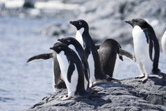 Adele Penguin Colony. Adelie Penguin Colony at Antarctica Royalty Free Stock Image