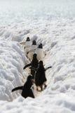 Adele Pinguine gehen zum Meer Lizenzfreie Stockfotografie