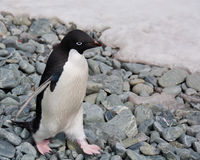 adele pingvin Arkivfoto