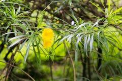 Adelfa amarillo Imagenes de archivo