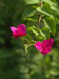 Adelfa rosado del Nerium Fotos de archivo
