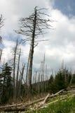 Adelgid lanoso del Hemlock del â del daño medioambiental Fotografía de archivo