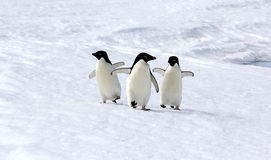Adeliе Penguins Stock Photography