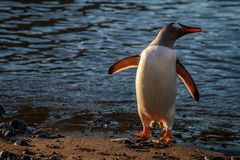 Adeli-Pinguin Lizenzfreie Stockfotografie