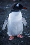 Adeli-Pinguin Lizenzfreie Stockbilder