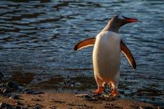 Adeli pingwin Fotografia Royalty Free