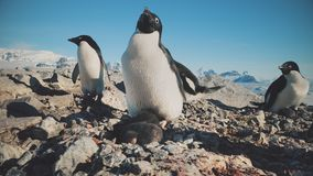 Adelie企鹅南极洲狂放的海岸照相机视图 股票录像