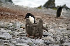 Adelie企鹅哺养的小鸡在南极洲 免版税库存图片