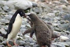 Adelie企鹅哺养的小鸡在南极洲 库存图片