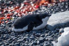 Adelie企鹅在说谎在木瓦的阳光下 免版税库存照片