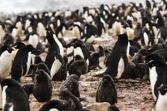Adelie企鹅殖民地,停滞它的头的一只企鹅 图库摄影