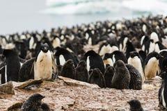 Adelie企鹅殖民地,看往照相机的一只企鹅 免版税库存图片