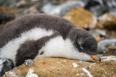 Adelie企鹅睡着在与鸟粪的岩石 免版税库存图片