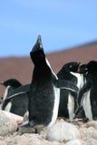Adelie企鹅要求一个伙伴在南极洲 库存照片
