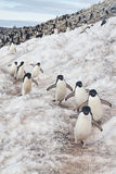 Adelie企鹅高速公路,南极洲 免版税图库摄影