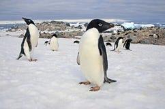 Adelie企鹅,威德尔海,南极洲 免版税图库摄影
