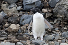 Adelie企鹅 免版税图库摄影
