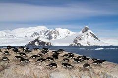 Adelie岩石的企鹅殖民地在山背景  免版税图库摄影