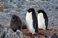 Adelie有一只小鸡的企鹅殖民地在南极洲 库存图片
