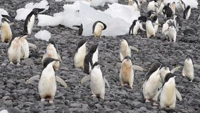 Adelie沿海滩的企鹅步行 股票录像
