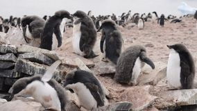Adelie沿海滩的企鹅步行 股票视频