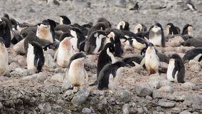 Adelie沿海滩的企鹅步行 影视素材