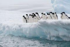 跳从冰山的Adelie企鹅 免版税库存图片