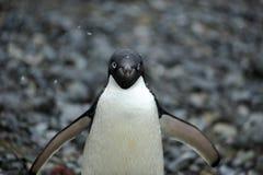 adelie Antarctica pingwin Zdjęcia Royalty Free
